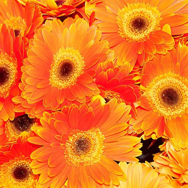 Fleurs-Orange-W