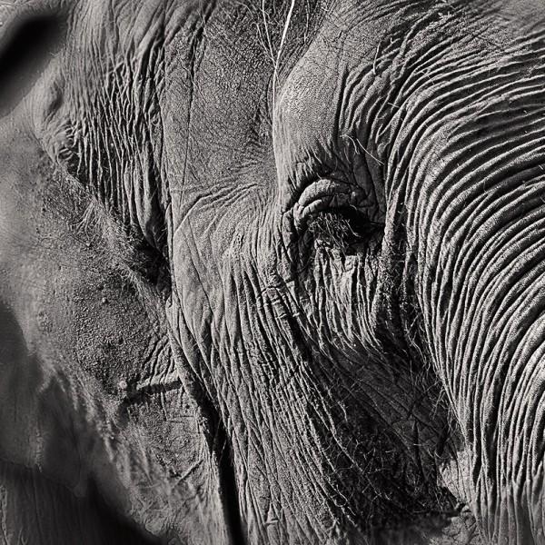 Elephant-W
